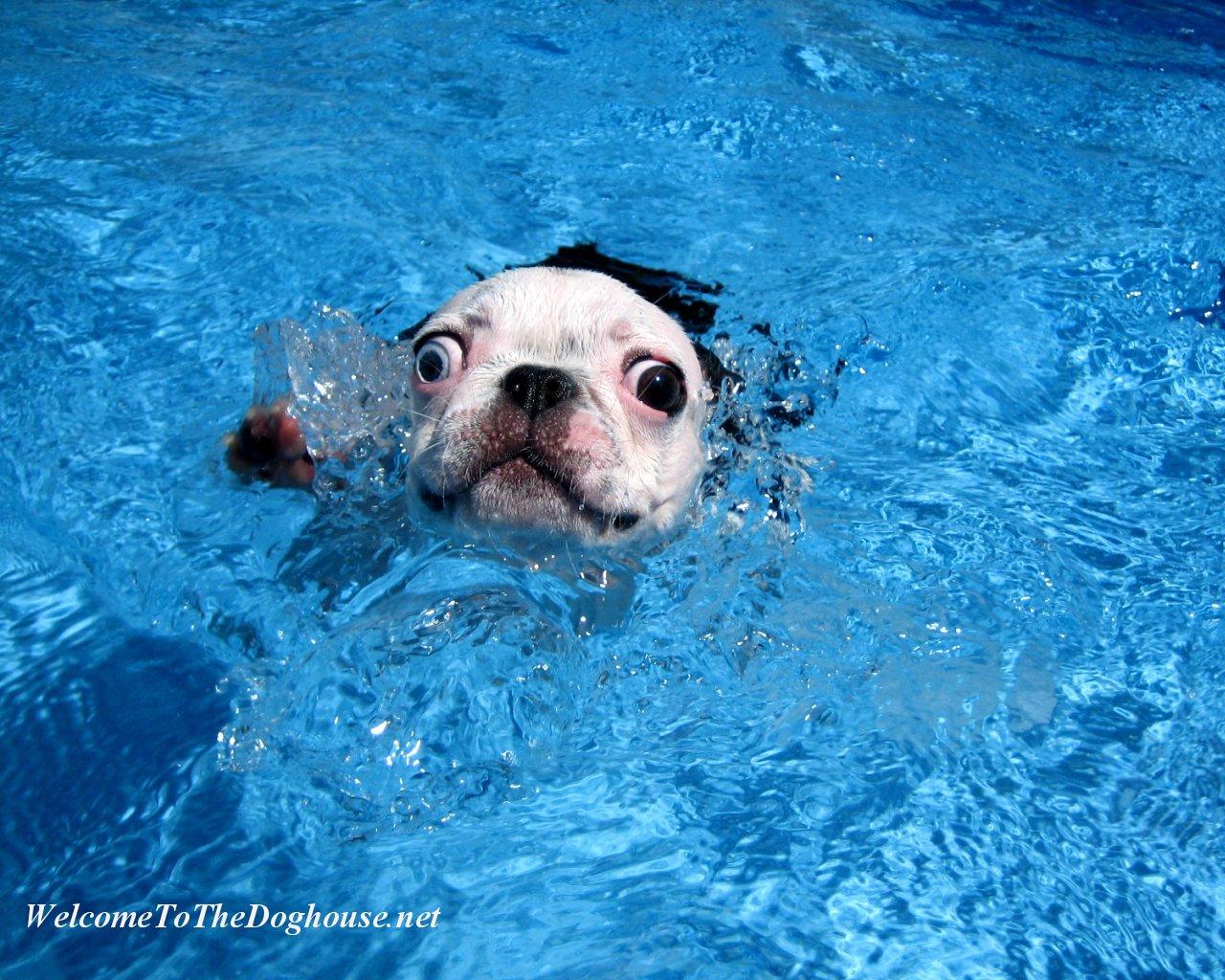 French Bulldog Swimming