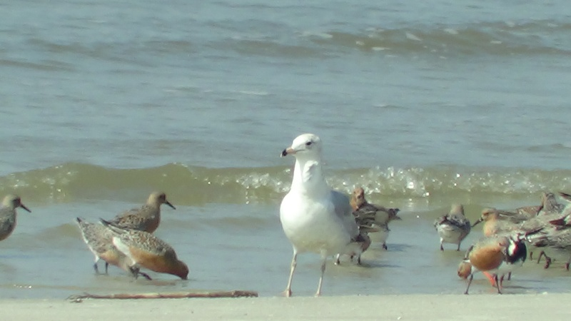 Ring-billed gull, Red Knots, and Ruddy Turnstone