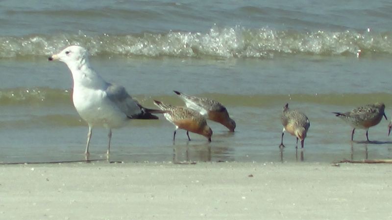 Ring-billed Gull and Red Knots