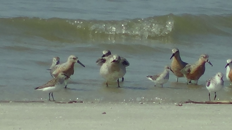 Sanderlings and Red Knots