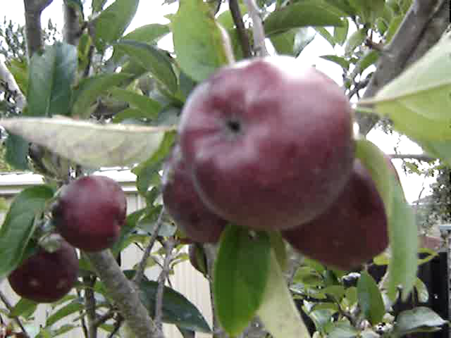 Apples in NZ