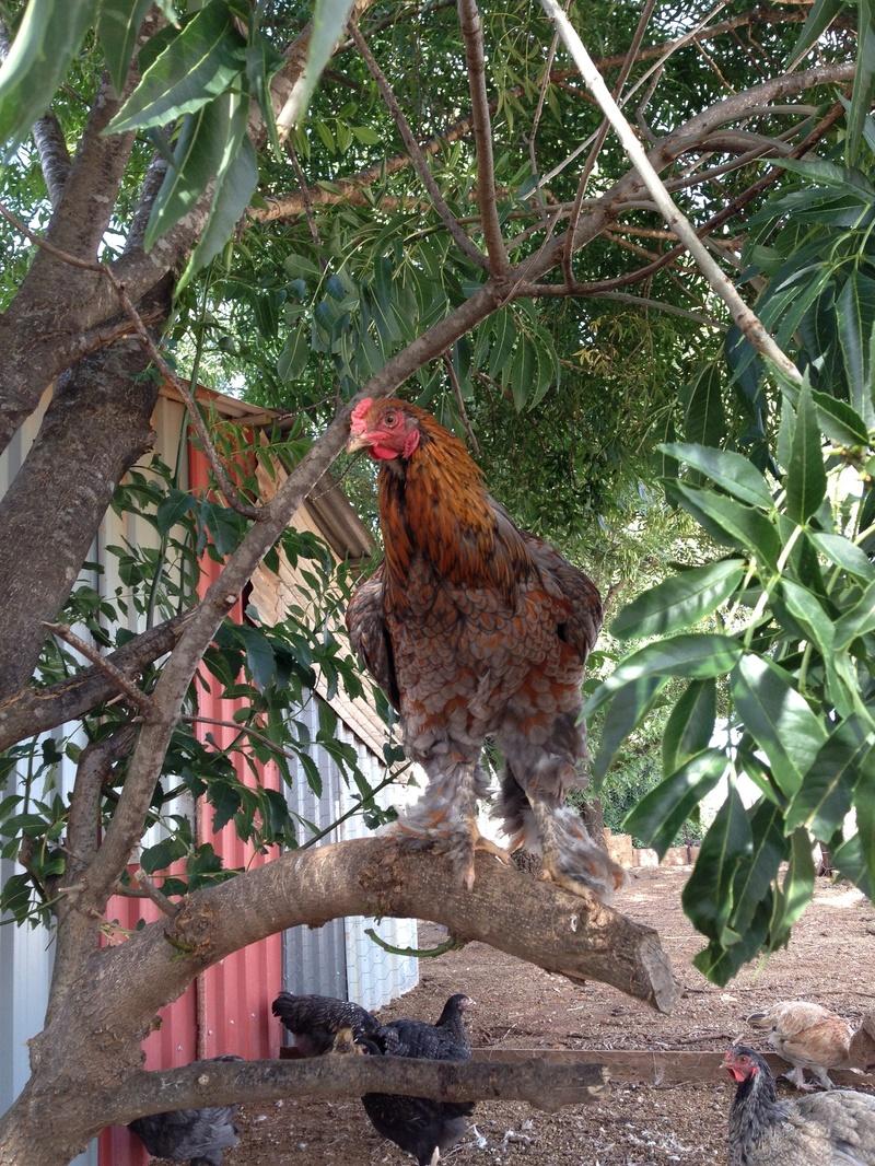 BLR rooster
