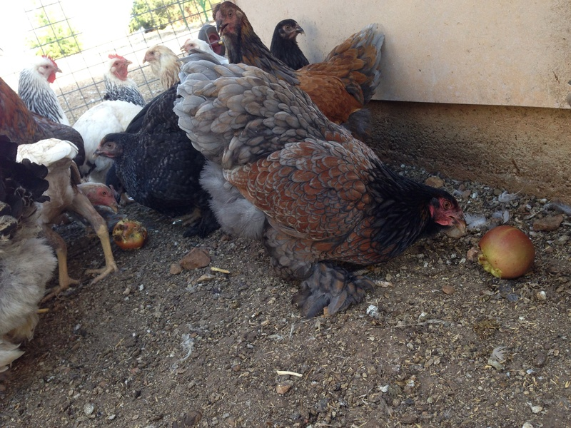 blue laced red