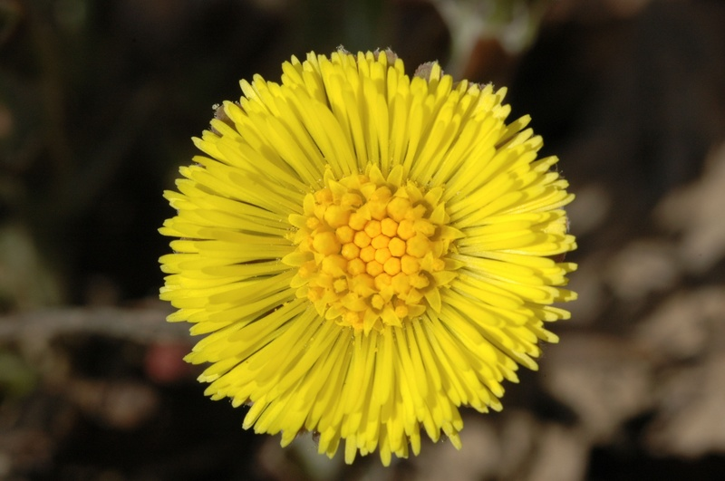 Sweet Coltsfoot