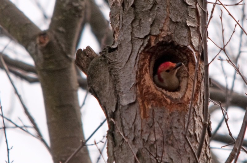 Red-bellied Woodpecker in the nest