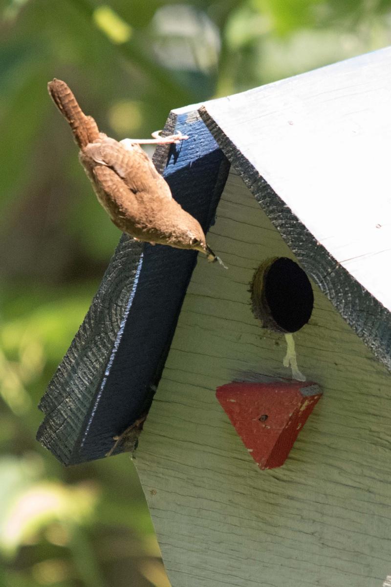 House Wren at a nest