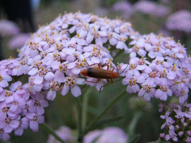 Common Soldier Beetle