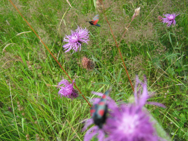 Six Spot Burnet Moth in Flight