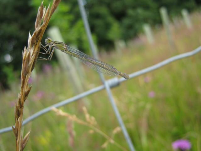 Commen Blue Damsel Fly (Female)