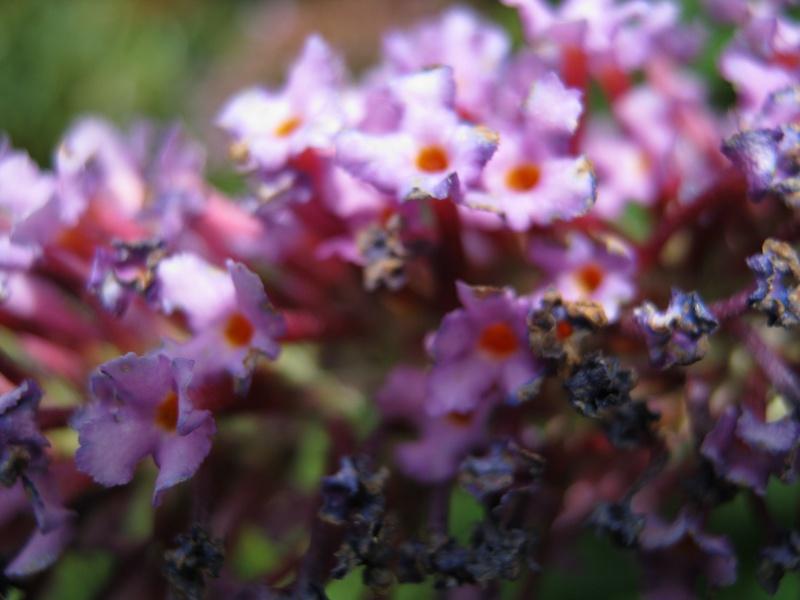 Purple budlea