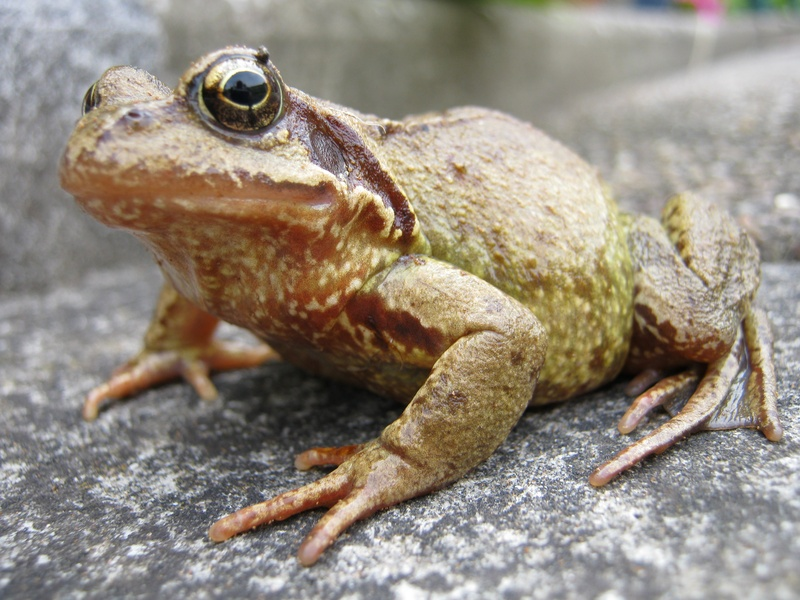 Mr Frog in our Garden