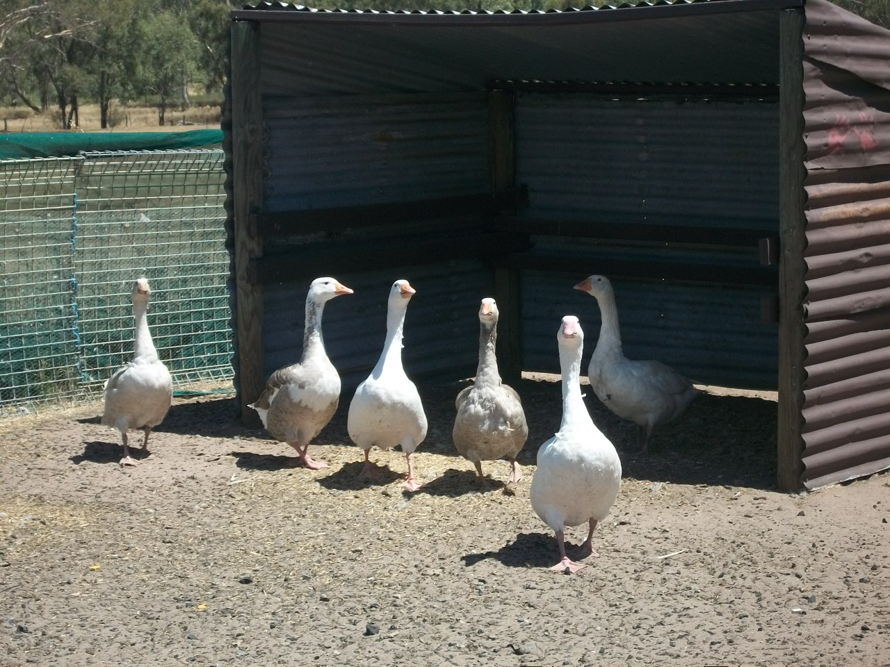 Our Geese