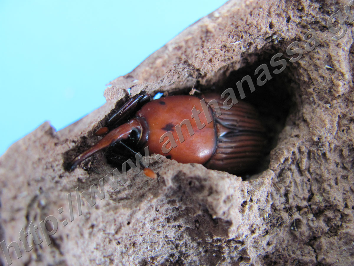 Rhynchophorus ferrugineus (red palm weevil)