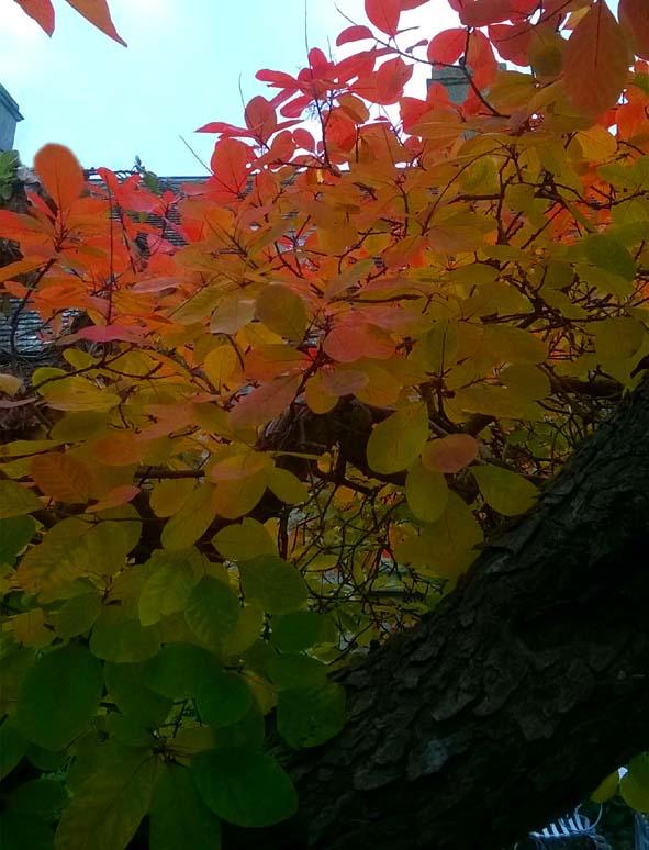 Autumn Smokebush