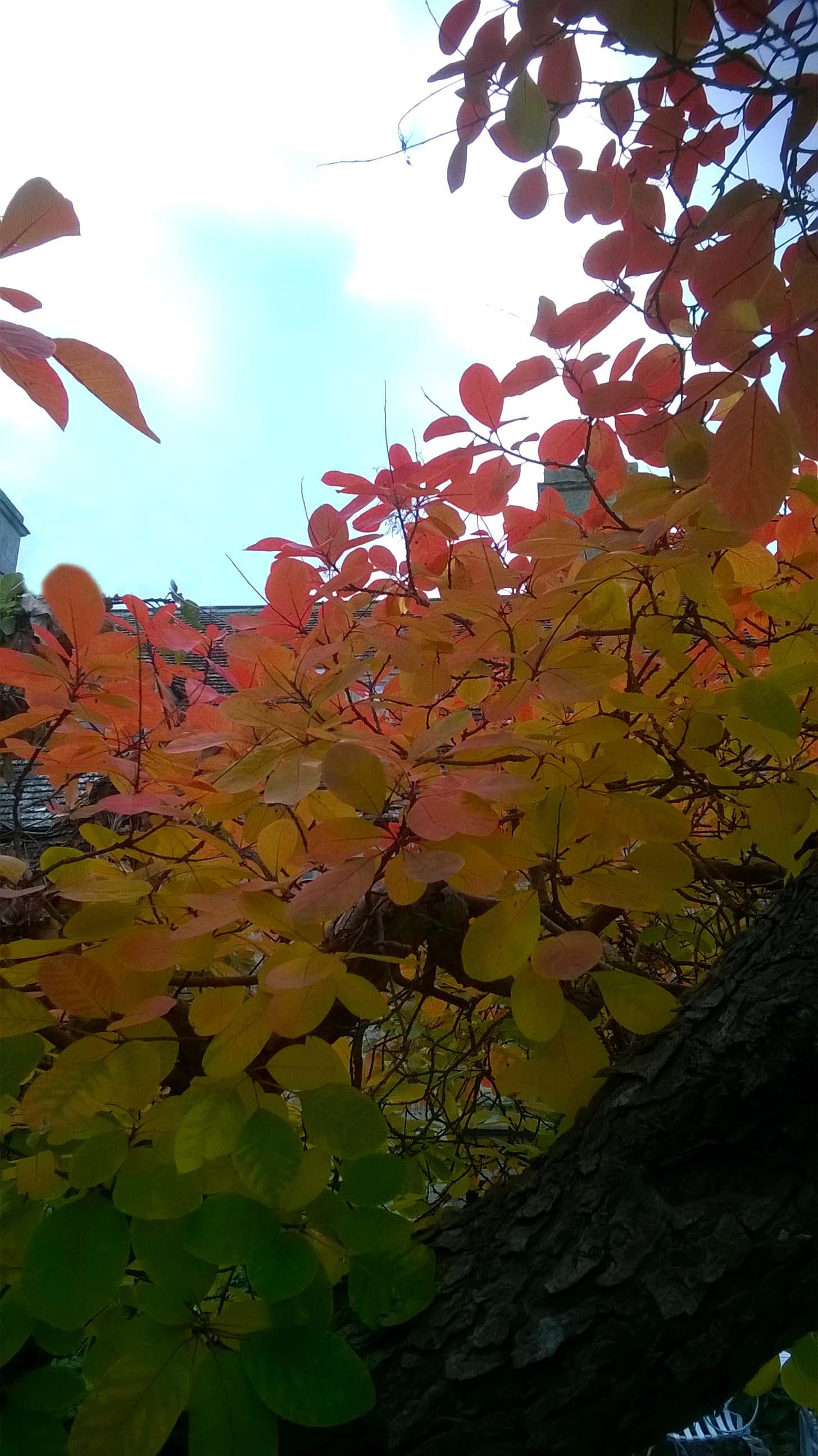 Smokebush in Autumn closeup