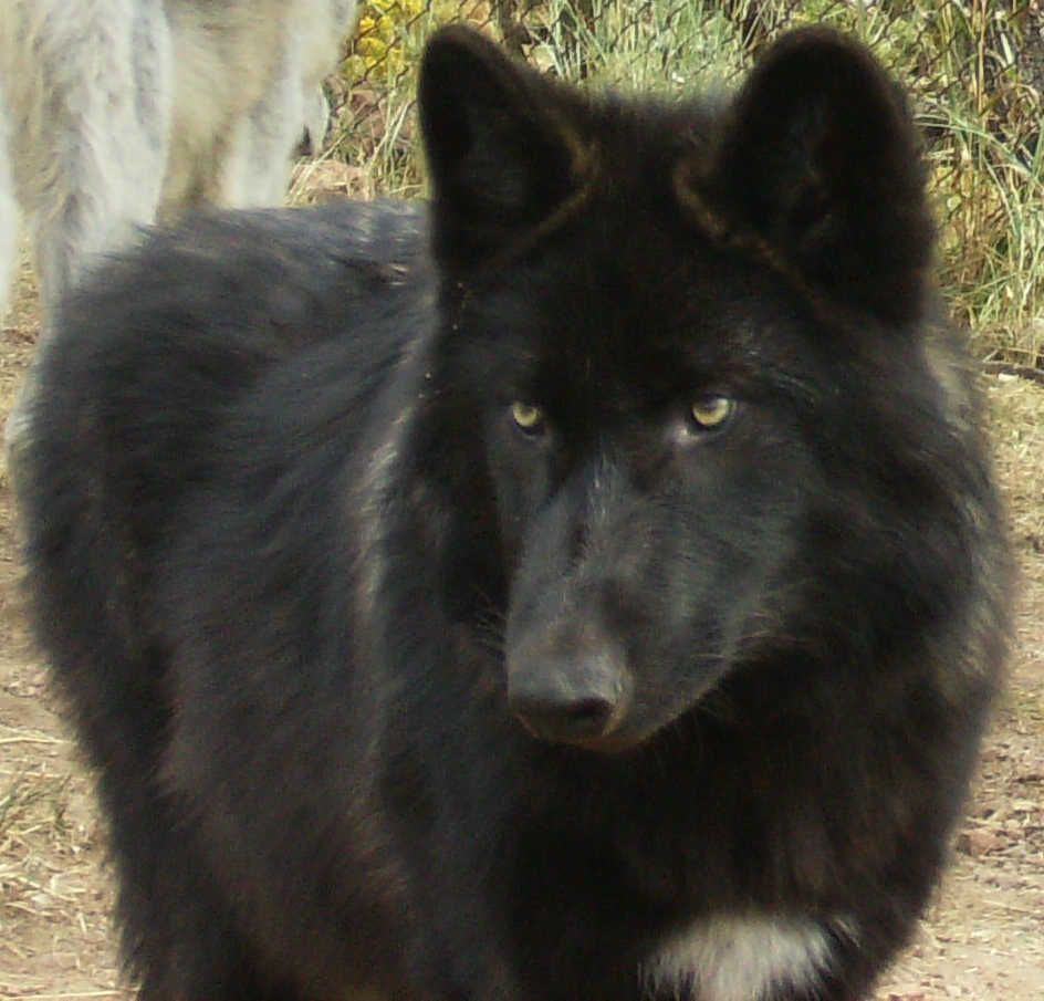 Pictures of Black Wolf Pet - #rock-cafe