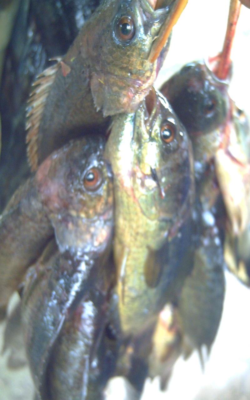 Fresh water fish -Puyo