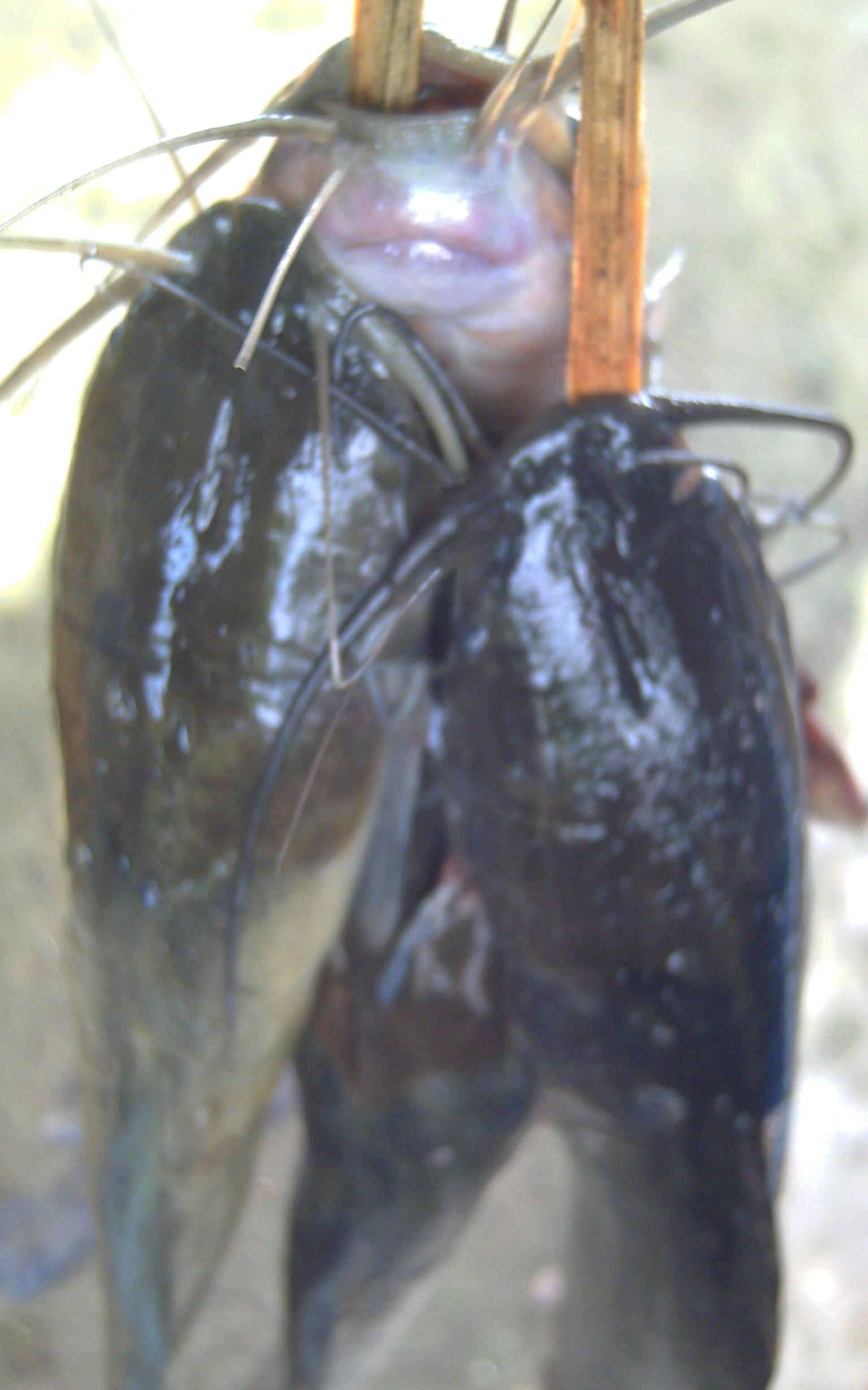 Fresh Water Fish - Catfish