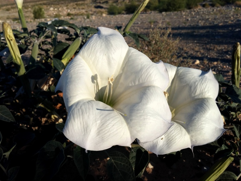Moon Flowers at the field