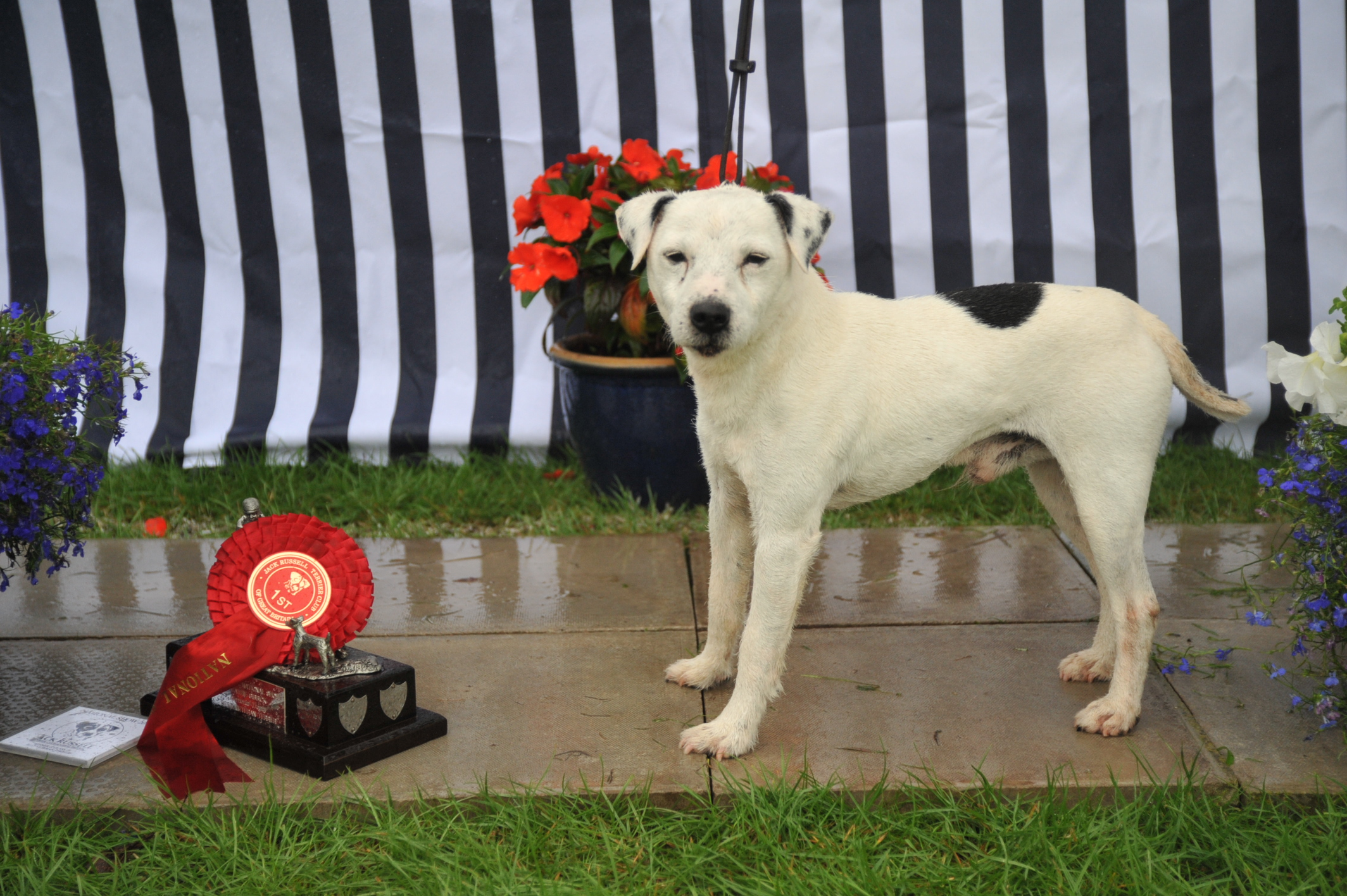 Class 21 Veteran Terrier