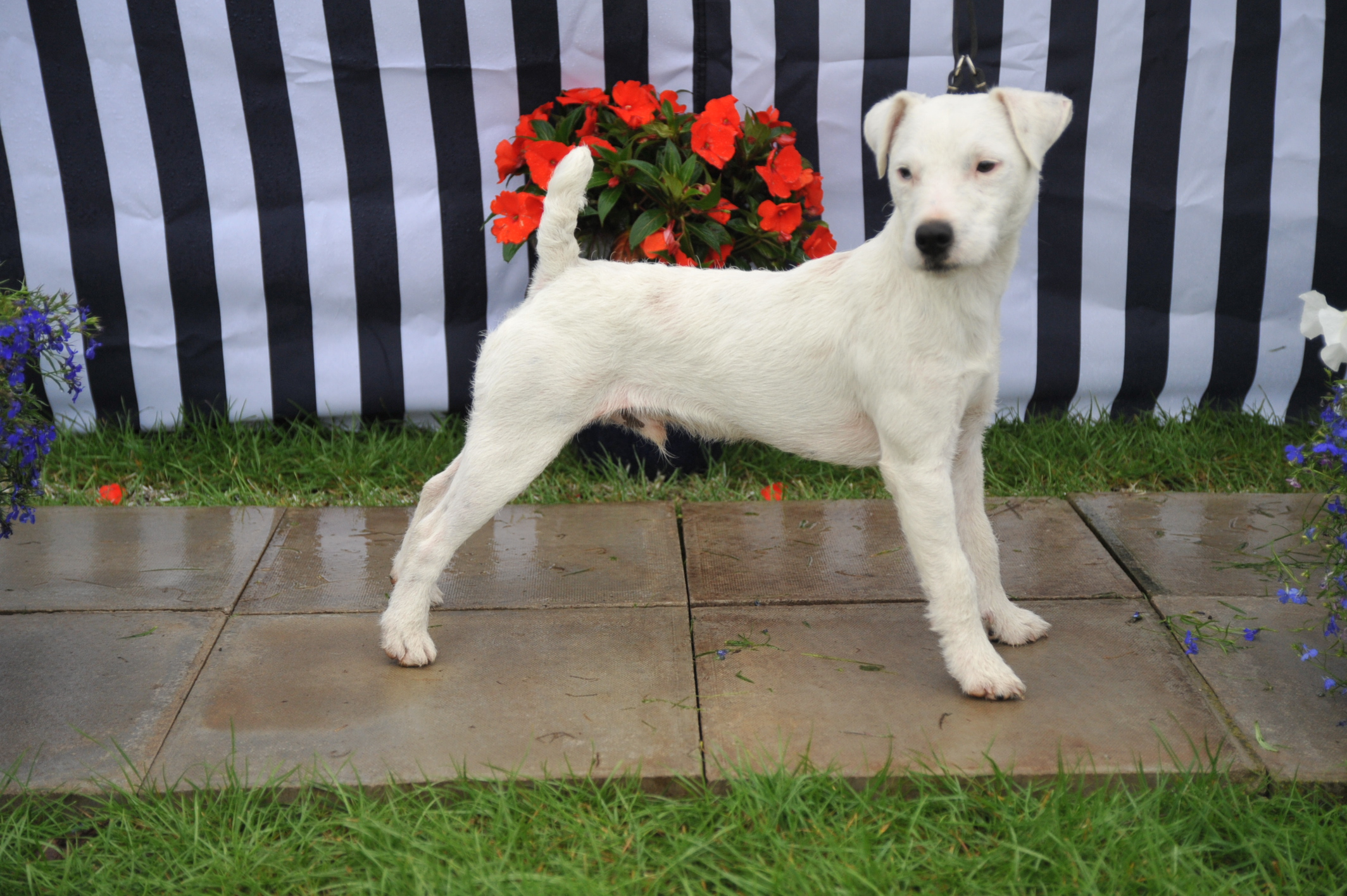 "Class 2 10""-12/5 smooth/rough/broken coated dop pup (9-12 months)"