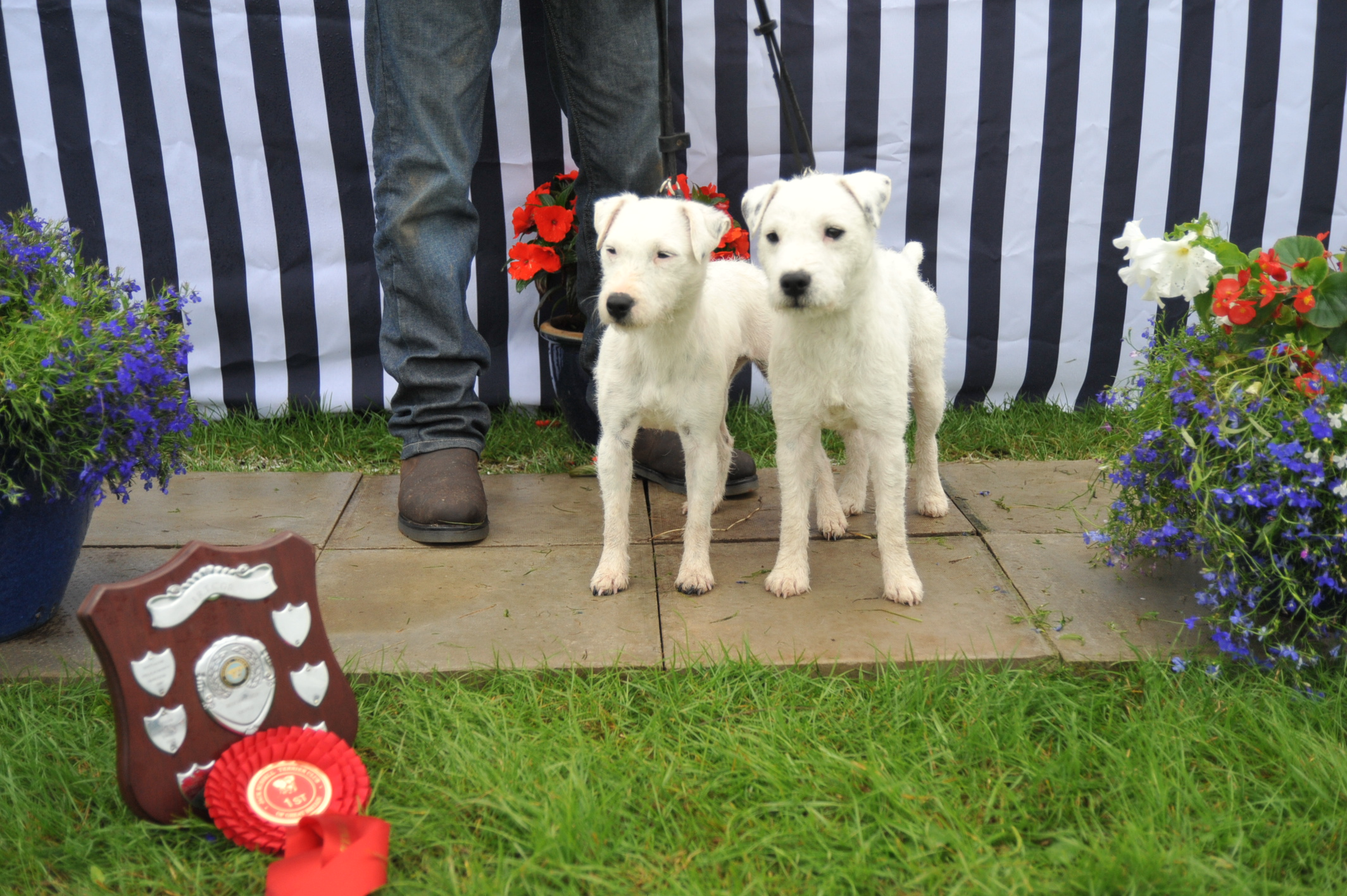 Class 23 Best Matched couple of Terriers