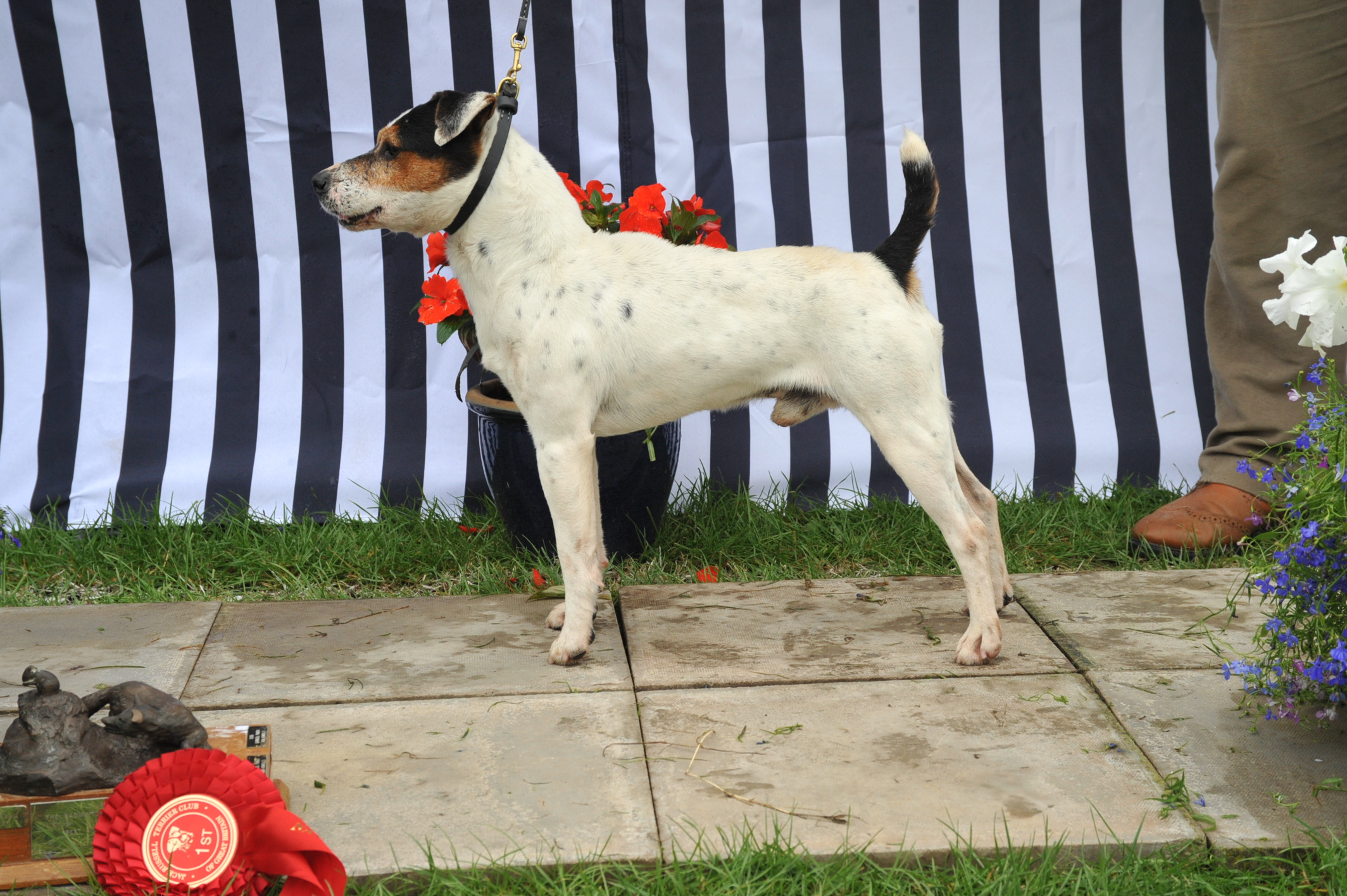 """Class 7 12 1/2""""-15"""" smooth coated dog over 1 year"""