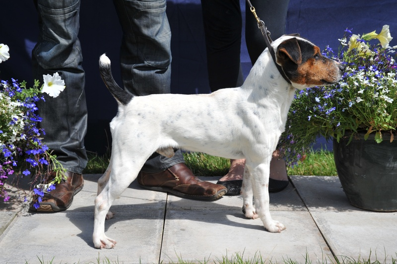 "Class 4 12 1/2"" - 15"" Smooth Coated Dog (Over 1 year)"