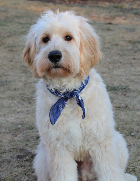 goldendoodle haircuts styles duffy s haircut 1521