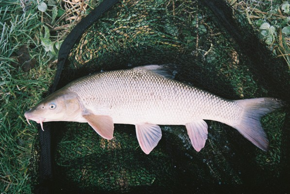 Barbel caught by Ron