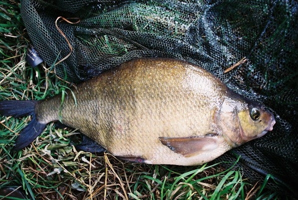 Bream caught by Ron
