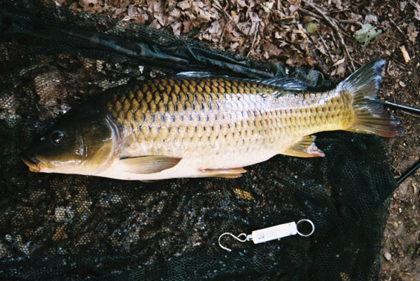 Carp caught by Ron