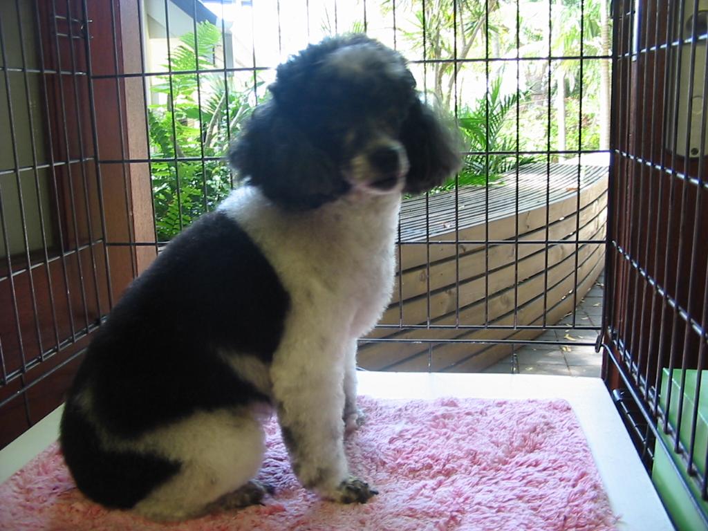 Jessie - Poodle