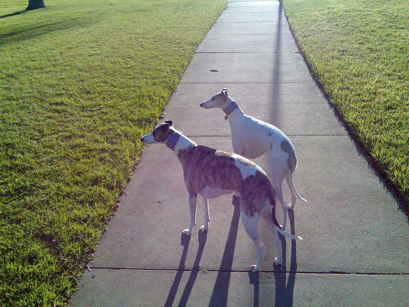 Jeannie & Lilly our children-whippets