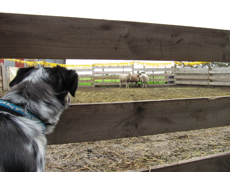 Ella meets sheep for the first time