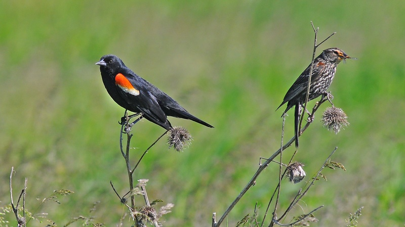 Red Winged Blackbirds -Pair