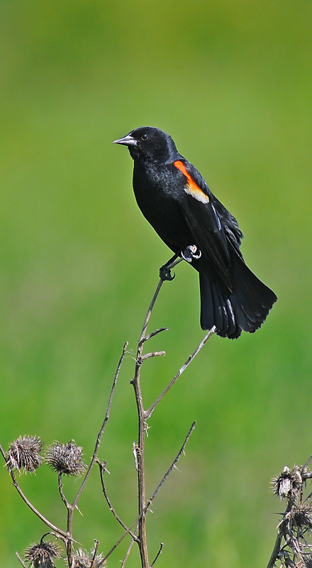 Red Winged Male