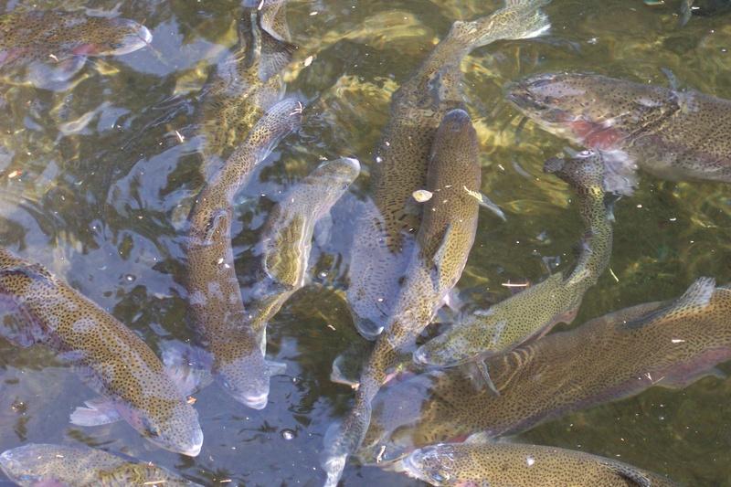 Olallie fish school