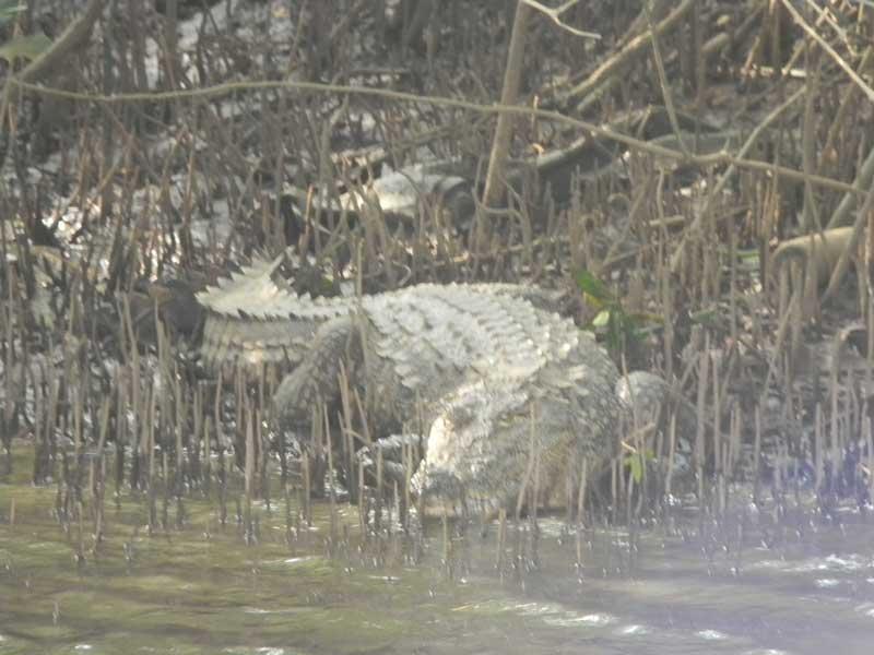 Crocodile (front view)