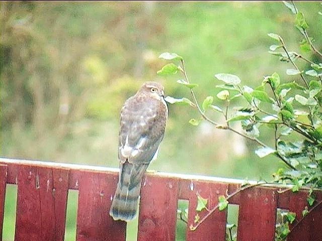 Hen Sparrow Hawk