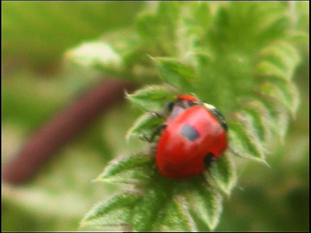 2 types of 2 spot ladybird