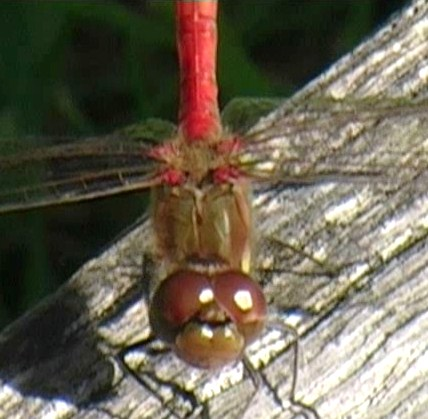 dragonfly at Greylake RSPB