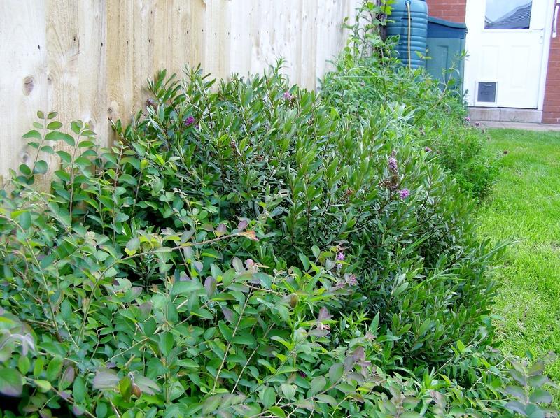 Re-designed hedgerow/shrubbery