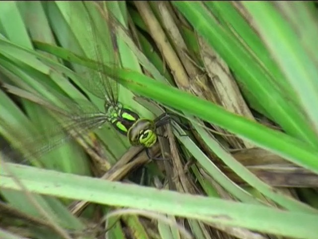southern hawker dragon fly