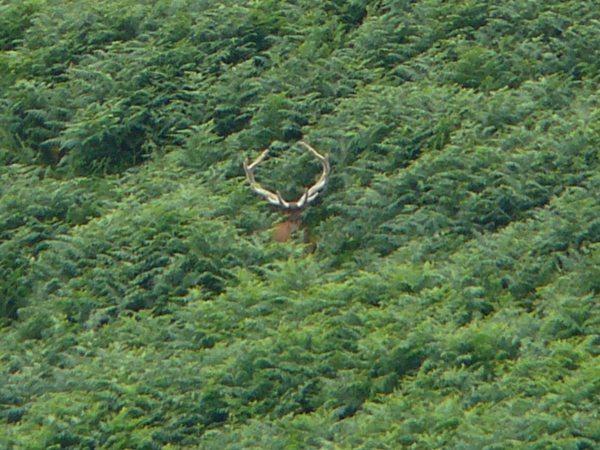 Red Deer Stag - 6 yr old