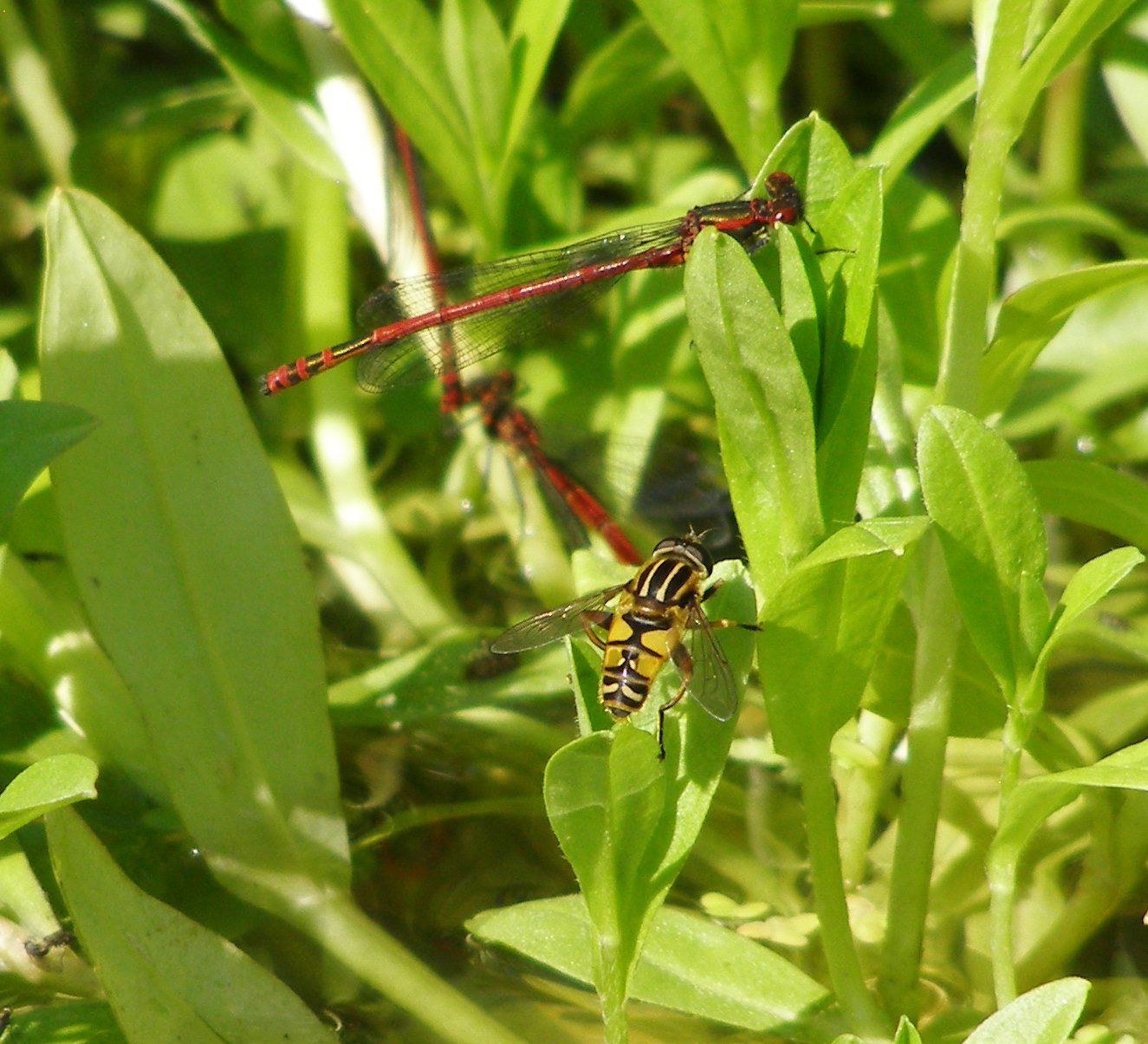 Large red damselflies and sunfly