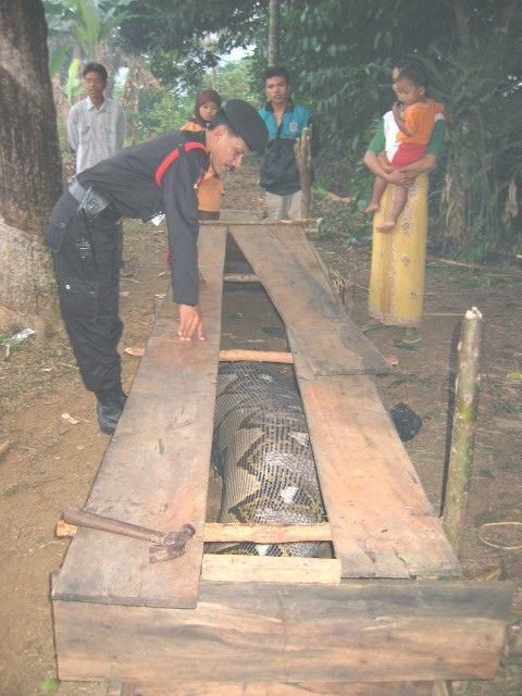 largest anaconda in world. Buy anaconda , pics photos Worlds largest pictures and the photos in