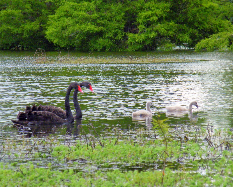 Black Swan with young