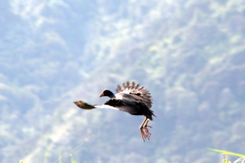 Pukeko In flight