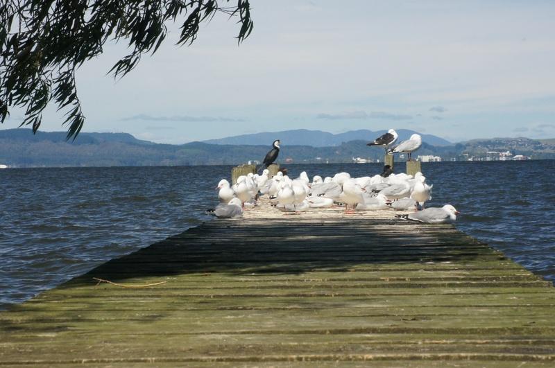 Sea Gulls- Lake Rotorua